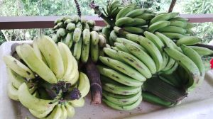 A few bananas from our property, and from friends.