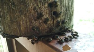 Our hive of congo bees, early one morning.